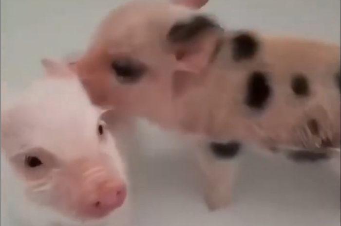Baby Schweinchen